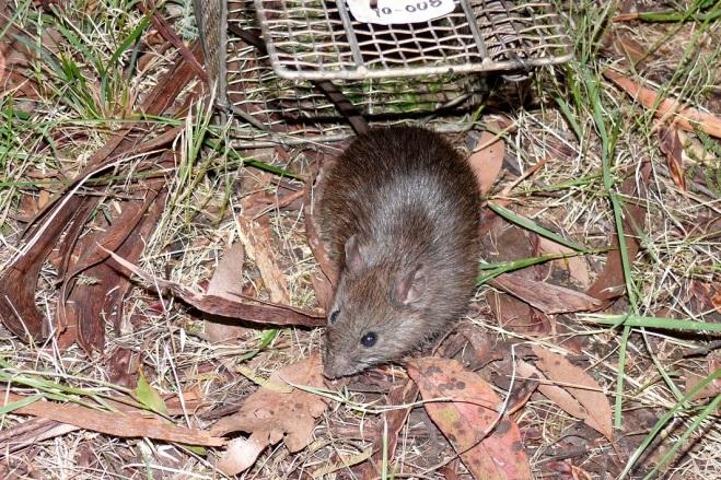 Bush Rat - Cambarville