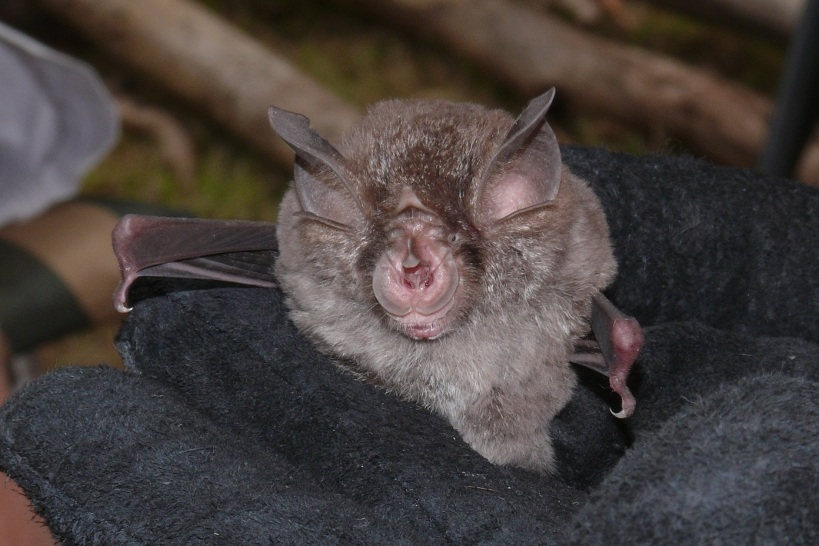 E Horseshoe Bat - Waterholes