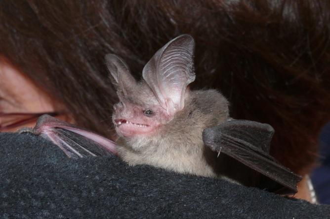 Gould's LE Bat - Waterholes