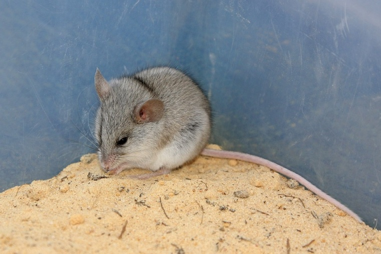 Silky Mouse - Mali Dunes