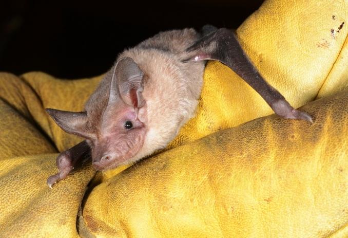 Southern Freetail Bat - Nardoo Hills
